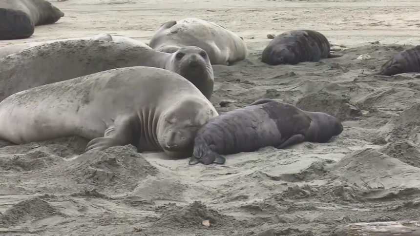 elephant seals take over beach.jpg_31675747_ver1.0_1280_720
