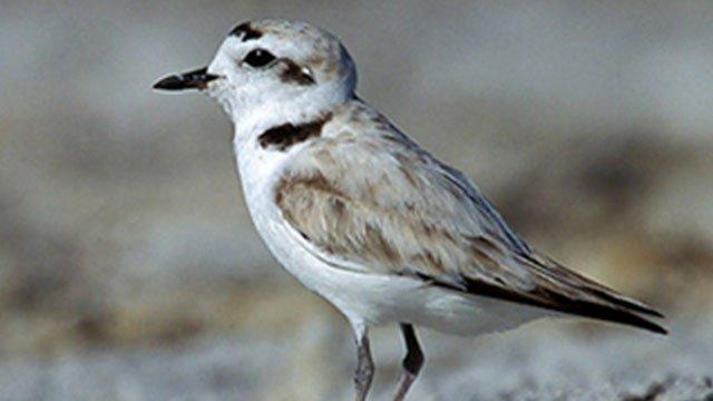 snowy-plover-bird-jpg_3721972_ver1.0