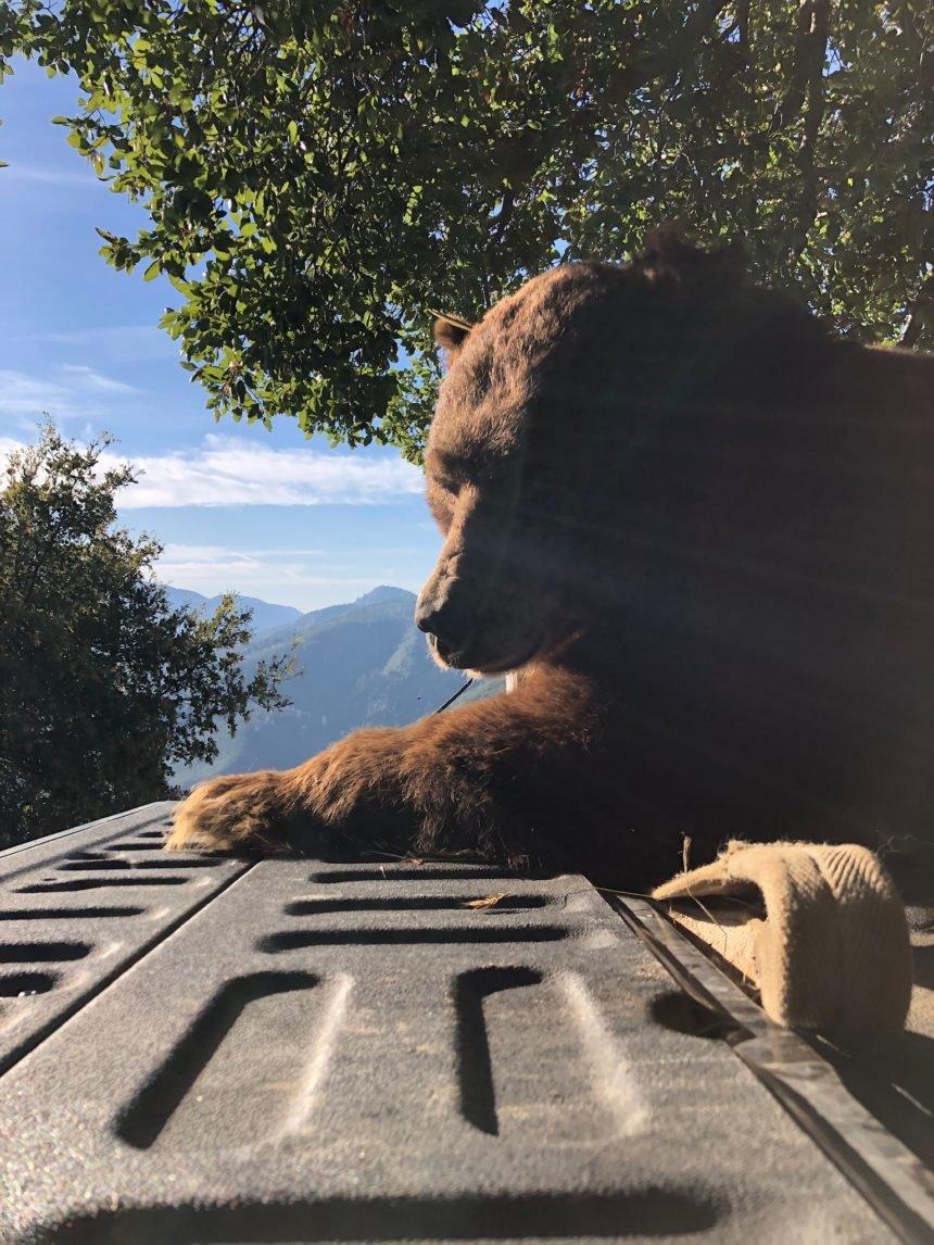 solvang bear 3