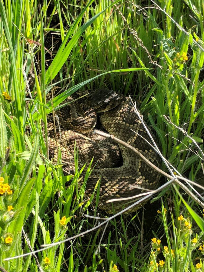 Pacific Rattlesnake Image
