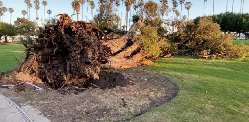Famous Santa Barbara tree down
