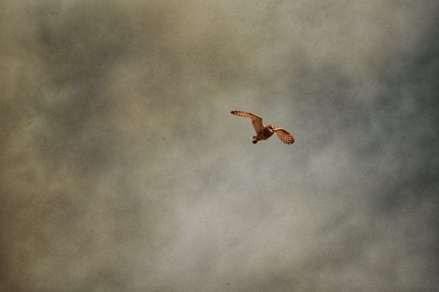 barn owl drum fire