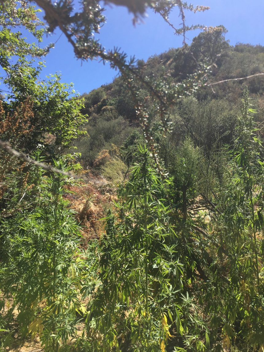 20-88 Marijuana Plants