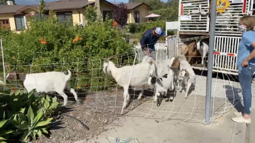 '805 Goats' at Valle Verde retirement community