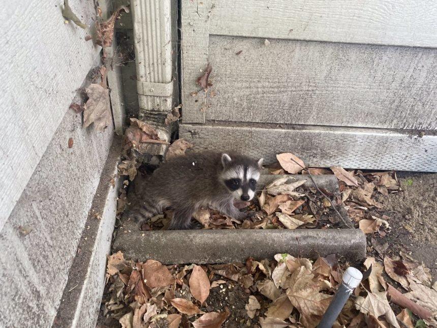 baby raccoon 1