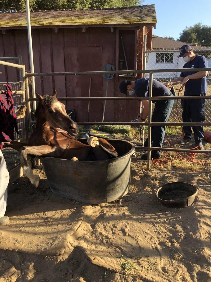 horse stuck in water trough