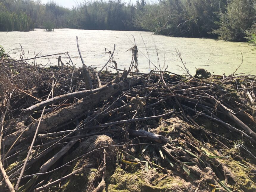 CSUCI professor proves that beavers can help prevent wildfires