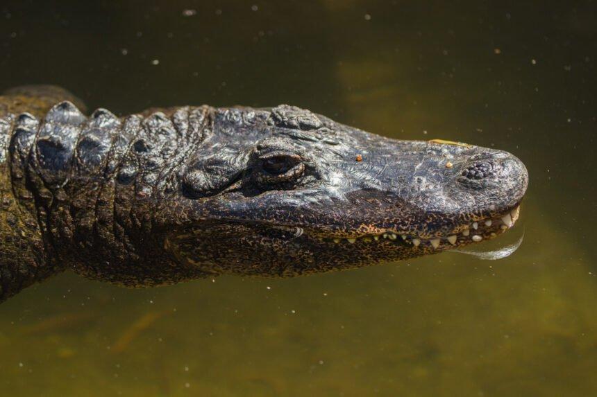 mary lou alligator at sb zoo