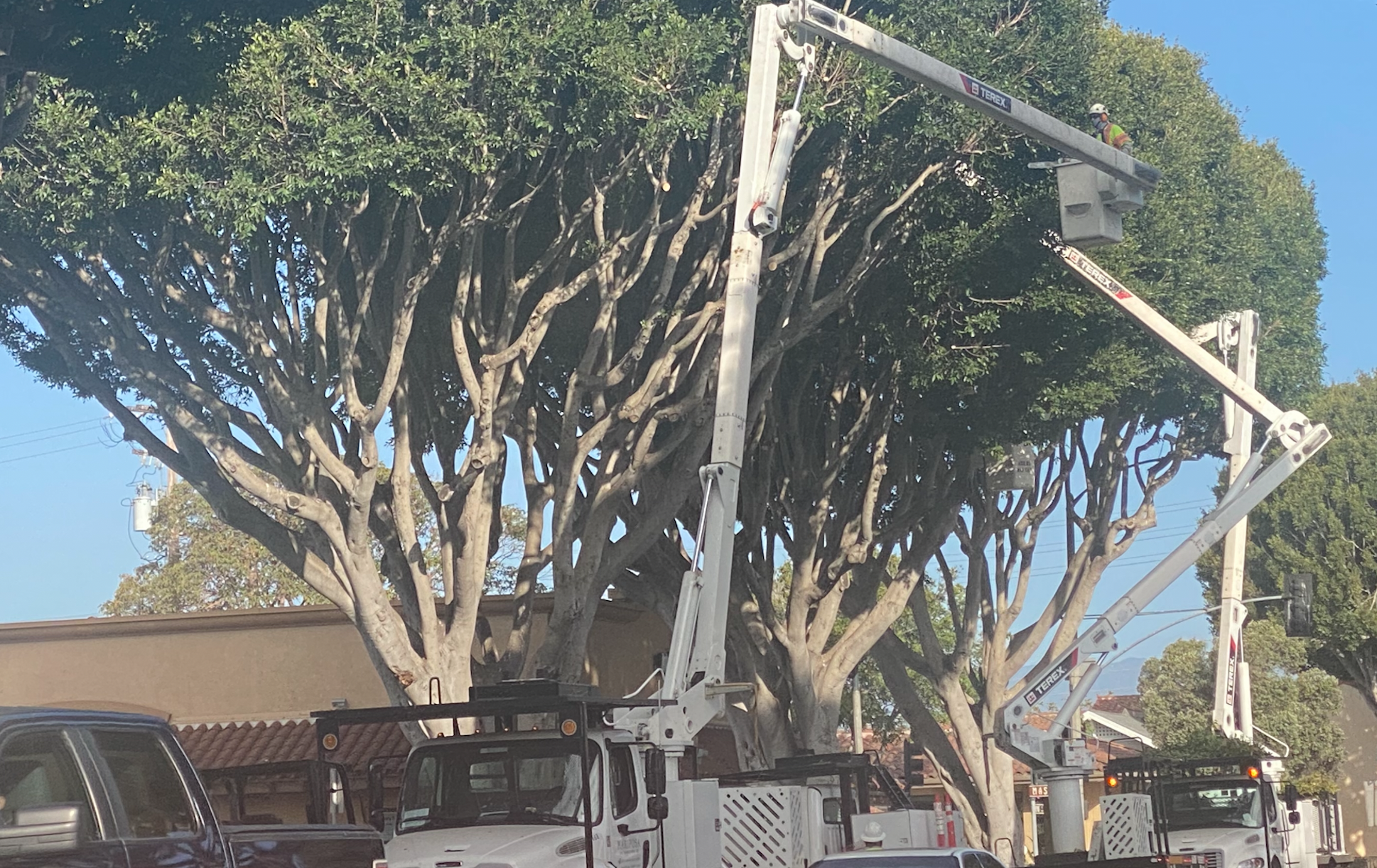 Tree pruning will also mean some Santa Barbara trees will be removed if they are a safety risk or are in bad health.  (Photo: John Palminteri)