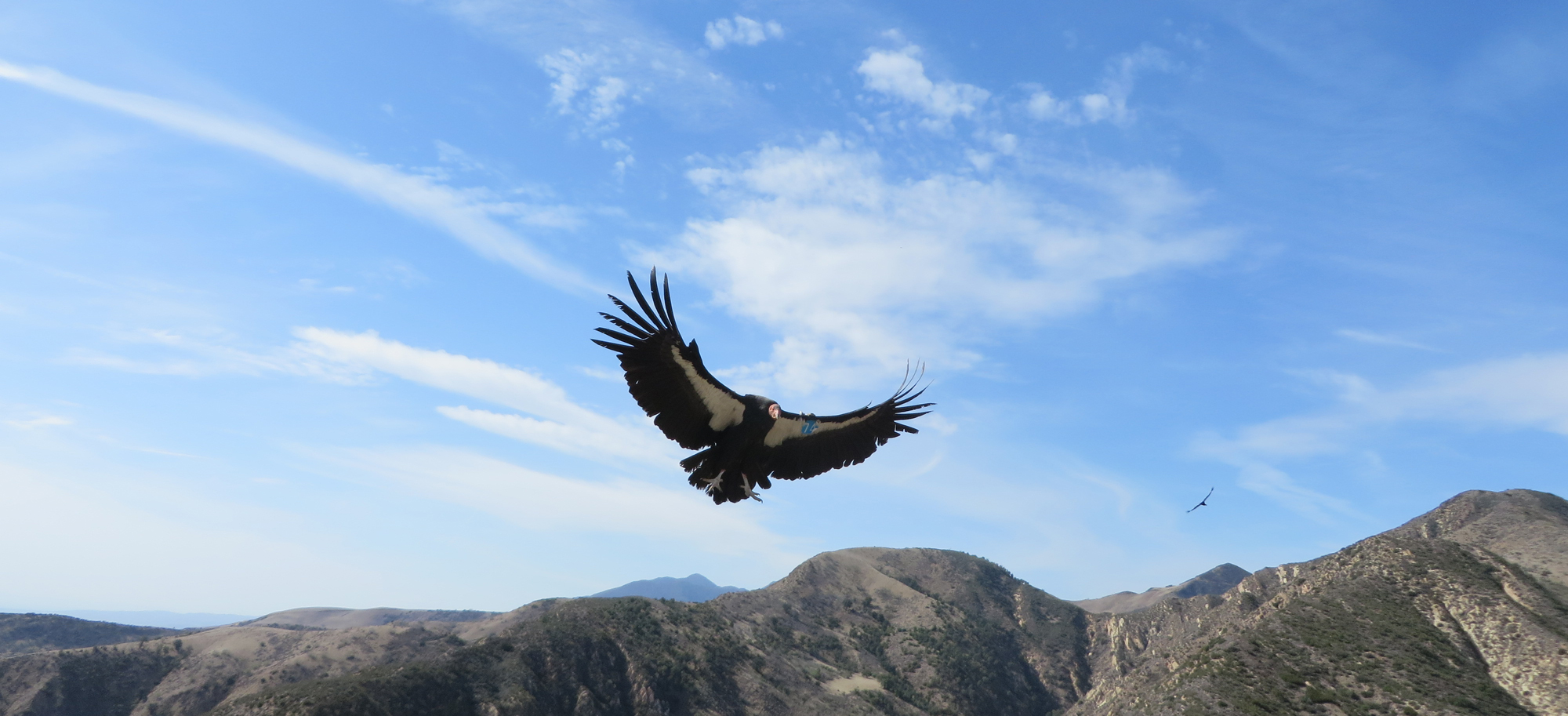 California condors return to the skies after near extinction   NewsChannel 3-12