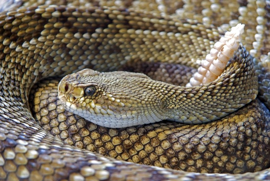 rattlesnake generic