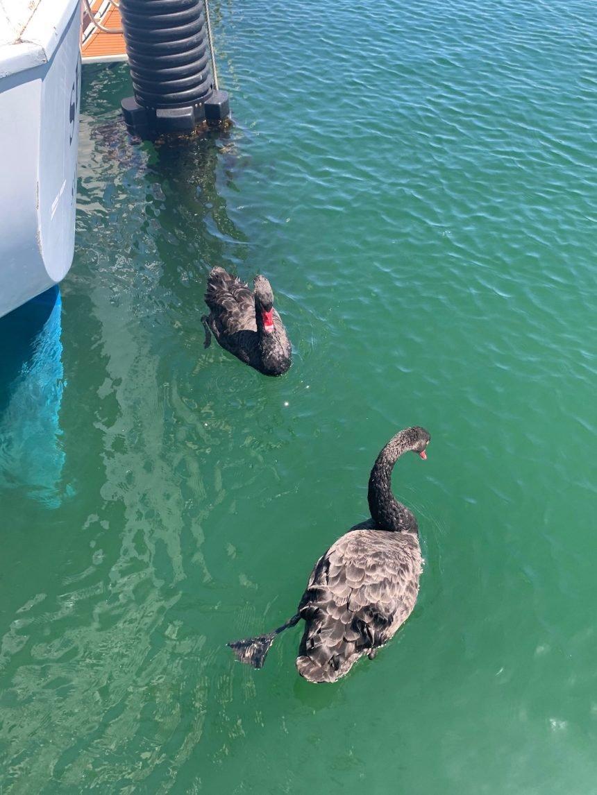BLACK SWANS AT SANTA BARBARA HARBOR gretchen 2