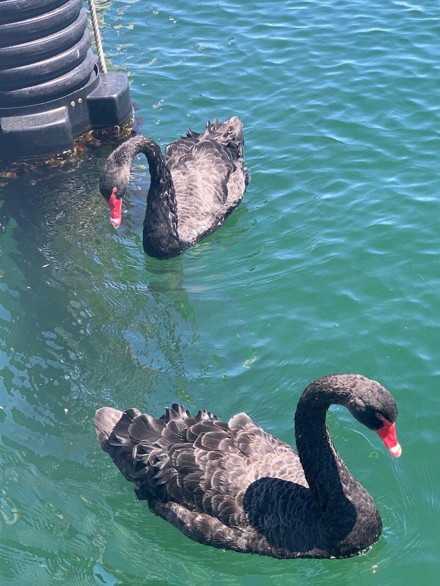 BLACK SWANS AT SANTA BARBARA HARBOR gretchen 3