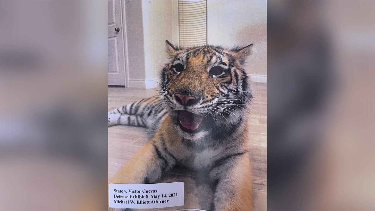 Police believe the tiger spotted in Houston has been in multiple different locations throughout the city in the past week.