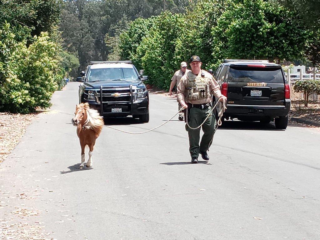 A mini pony was captured by sheriff's deputies.