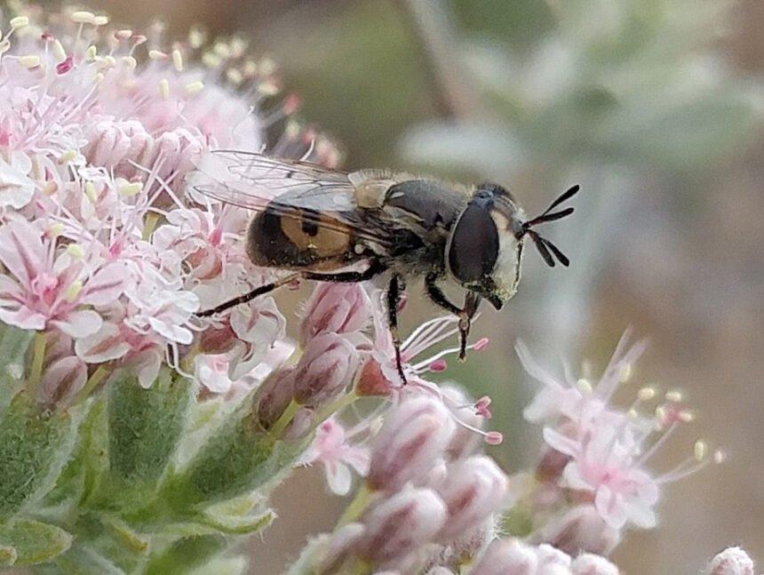 Syrphid_on_Buckwheat_by_Casey_Richart_courtesy_SB_Botanic_Garden