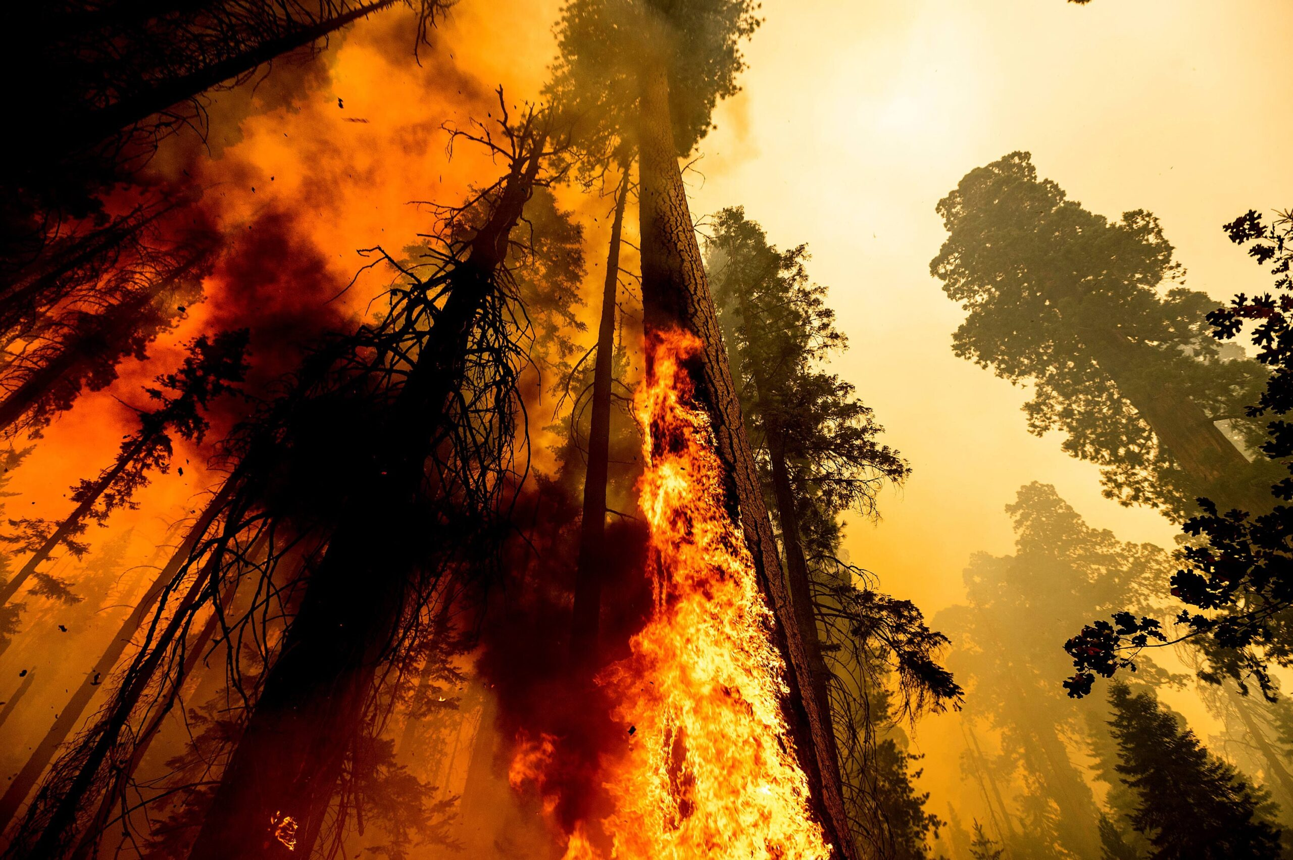 <i>Noah Berger/AP</i><br/>Flames lick up a tree as the Windy Fire burns in the Trail of 100 Giants grove in Sequoia National Forest