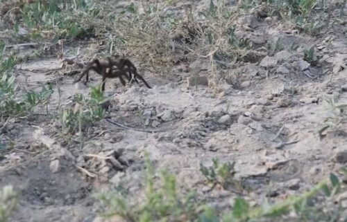 Oklahoma brown tarantulas migrate through La Plata County