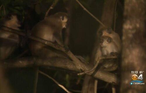 Monkeys sit in a tree in Dania Beach