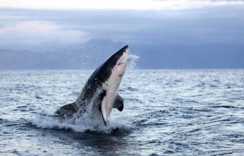 Swimming or paddle boarding humans bear a strong likeness to seals and sea lions in the eyes of juvenile white sharks.